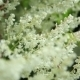 Many Small White Flowers On The Bush - VideoHive Item for Sale