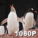 Rare Blond Penguin in Antarctica - VideoHive Item for Sale
