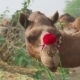 Decorated Camel - VideoHive Item for Sale