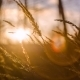 Grass Swaying In The Sunset - VideoHive Item for Sale