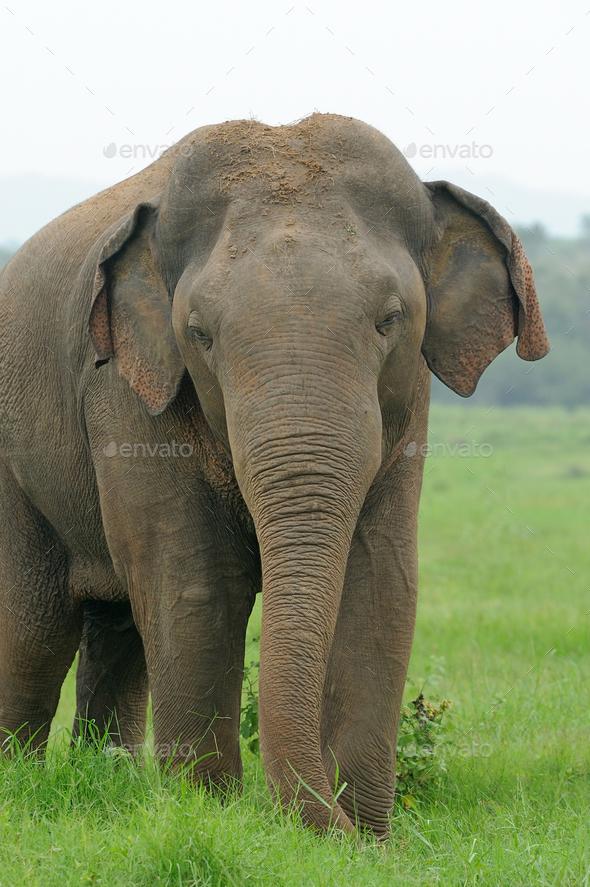 Elephants - Stock Photo - Images
