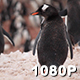 Gentoo Penguin Scratches Its Back - VideoHive Item for Sale