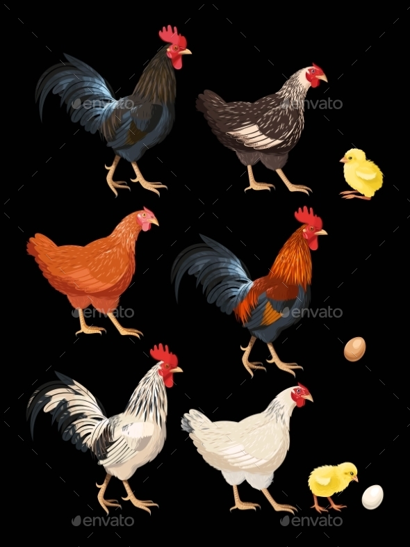 Set Of Chicken - Animals Characters
