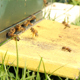 Beaytyful Honey Bees Flying in Beehive - VideoHive Item for Sale