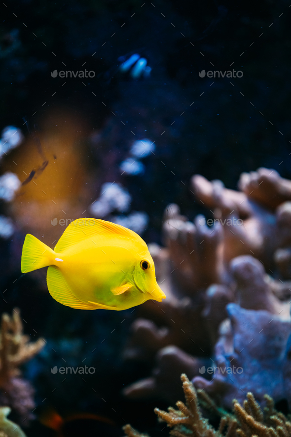 Pomacanthus navarchus blue angel sea fish in aquarium - Stock Photo - Images