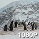 Mountainous Colony of Penguins - VideoHive Item for Sale