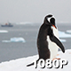 Penguin Preens over Antarctic Bay - VideoHive Item for Sale