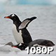 Penguins Drinking Sea Water - VideoHive Item for Sale