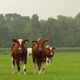Dutch Cows in the Pasture 1 - VideoHive Item for Sale