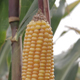 Corn Cob Maize close-up - VideoHive Item for Sale