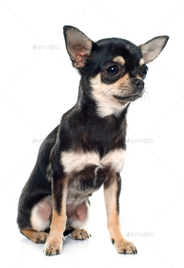 purebred puppy chihuahua - Stock Photo - Images