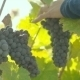 Wine Grape Harvest - VideoHive Item for Sale