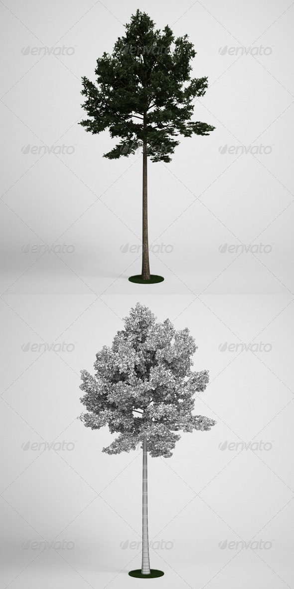 CGAxis Scotch Pine Tree 19 - 3DOcean Item for Sale
