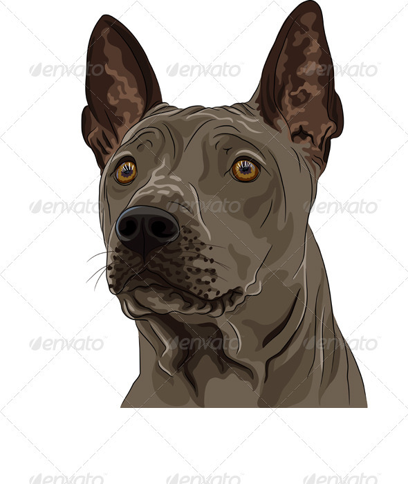 Vector Color Sketch Thai Ridgeback Dog Breed - Animals Characters