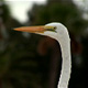 Great White Heron - VideoHive Item for Sale