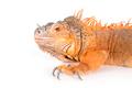 Portrait of ordinary iguanas (red morph).