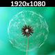 Dandelion  - VideoHive Item for Sale