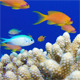 Blue Water Background with Colorful Scalefin Anthias - VideoHive Item for Sale