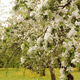 Spring Blooming Apple Tree Garden - VideoHive Item for Sale