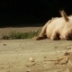 Pig At Mountain Road - VideoHive Item for Sale