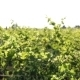Rows Of Vineyard - VideoHive Item for Sale