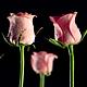Dancing Roses - VideoHive Item for Sale