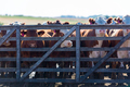 Group of cows in intensive livestock farm land, Uruguay - PhotoDune Item for Sale