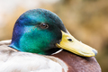 Portrait of a male wild duck