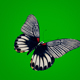 Butterfly With Striped Wings - VideoHive Item for Sale