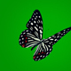Black Butterfly  - VideoHive Item for Sale
