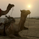 Camels On The Deserts - VideoHive Item for Sale