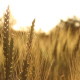 Ears of Wheat Swaying in the Wind Sunrise - VideoHive Item for Sale