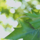 Leaves Of Plane Tree  - VideoHive Item for Sale