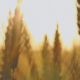 Ears of Wheat Swaying - VideoHive Item for Sale