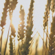 Sun Rays Come through Wheat - VideoHive Item for Sale