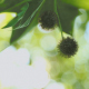 Fruit of Plane Tree - VideoHive Item for Sale