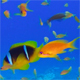 Underwater Colorful Tropical Fishes under Tabel Coral - VideoHive Item for Sale
