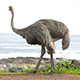 Ostrich South Africa - VideoHive Item for Sale