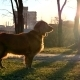 Dog At Sunset. Long Shadows Of Trees - VideoHive Item for Sale