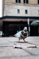 Pigeon - PhotoDune Item for Sale