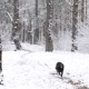 Black Dog Runs Quickly To Camera In Snowy Forest - VideoHive Item for Sale