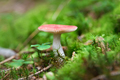 small Russula mushroom in the forest - PhotoDune Item for Sale