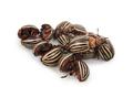 Colorado beetles - PhotoDune Item for Sale