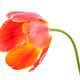 Red tulip on white background - PhotoDune Item for Sale