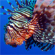 Colorful Tropical Coral Reefs Lionfish and Soft Coral - VideoHive Item for Sale
