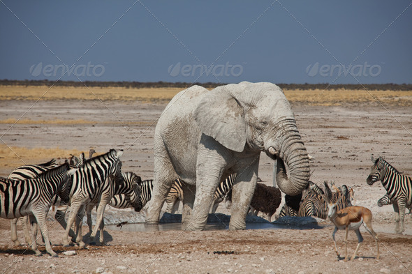 Elephant and zebras - Stock Photo - Images