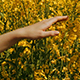 Young Woman Touching Yellow Flowers At Flower Field - VideoHive Item for Sale