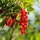 Bunch of Bird Cherry - VideoHive Item for Sale