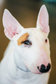 Close Up White Bullterrier Dog