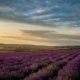 Lavender Field Under Blue Sky With Clouds At Sunset. - VideoHive Item for Sale